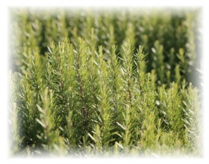 wholesale Rosemary plants Summerhill Nurseries