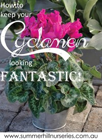 How to keep Cyclamen looking great