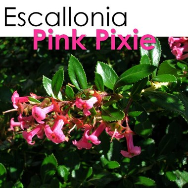 Escallonia slide