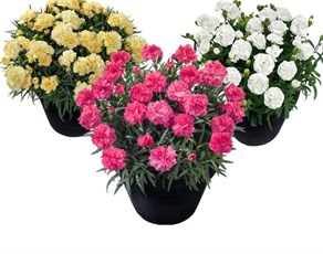 wholesale Carnation Summerhill