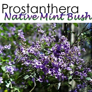 Prostanthera Native Mint Bush
