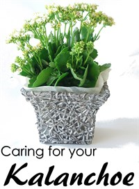 Caring for your Kalanchoe
