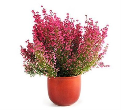 Erica Wholesale Plants